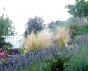 Lavender and Mexican Feather Grass