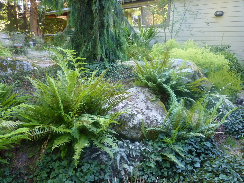 Fern Garden Ideas Love sword fern plants i love hate lowell garden design there are some gardens workwithnaturefo